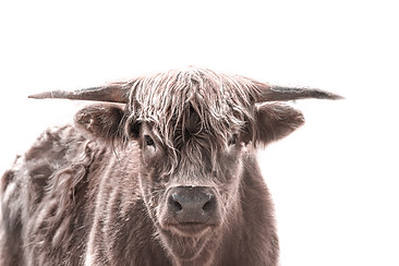 Highland Cattle 3 (colour).jpg