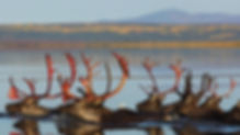 caribou-large.jpg