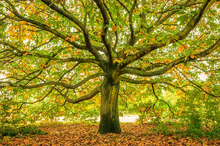 Large oak tree, London, England_.jpg