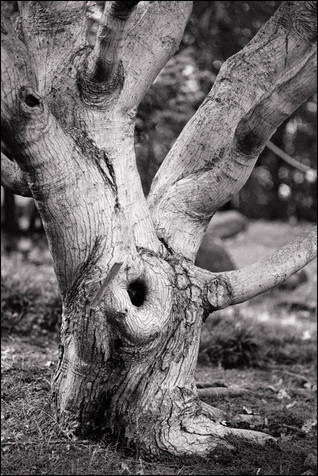 Venerable Tree