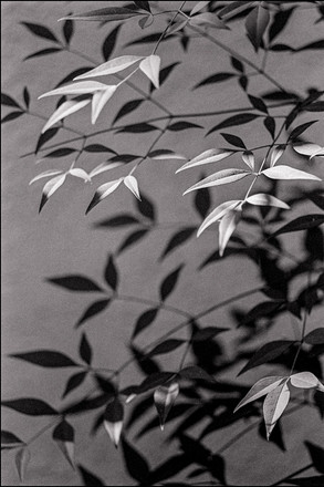 Heavenly Bamboo Leaves and Shadows
