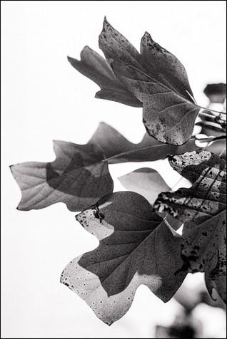 Tulip Tree Leaf Cluster