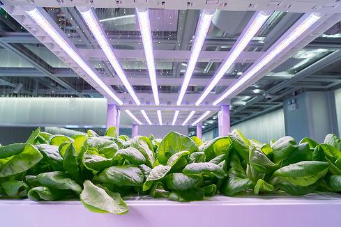 Organic hydroponic Brassica chinensis  v