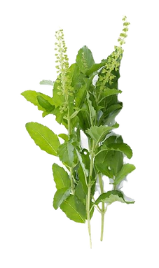 0017042_tulsi-leaves-holy-basil_600_edit
