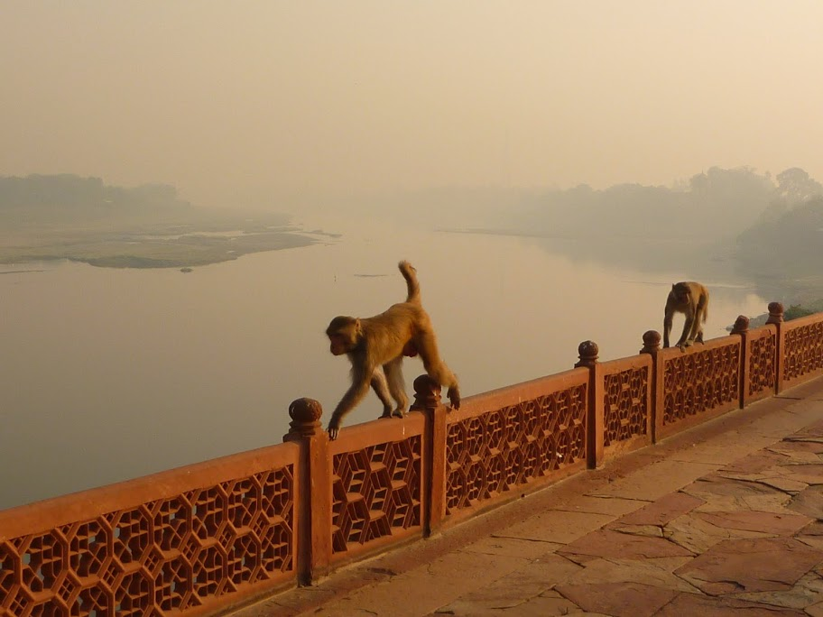Monkeys at the Yamuna River