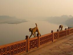 Monkeys at the Yamuna River