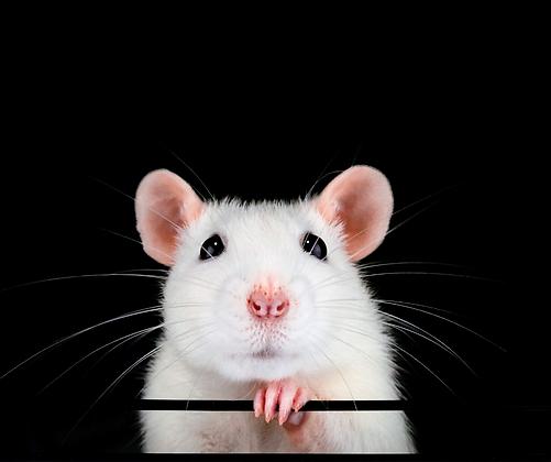 Kurs Szczur - biologia i behawior