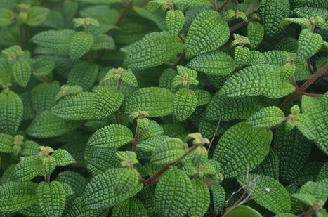 Plantes endemique Haiti