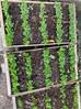 Amyris apiculata, une plante endémique à conserver