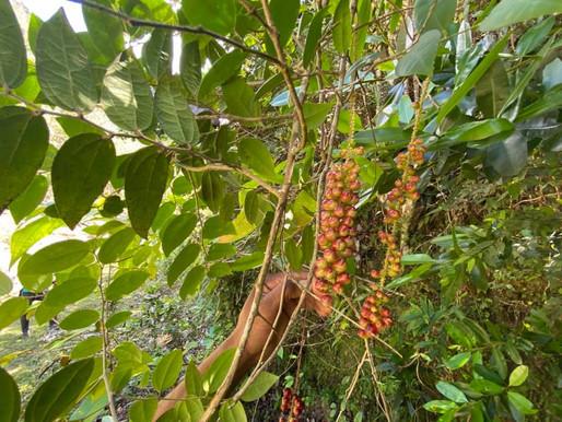Découverte de Lunania scopulorum à la Vallée de Jacmel