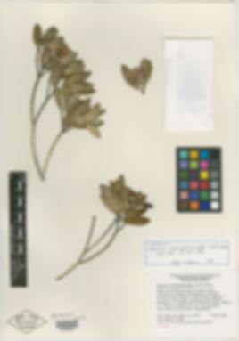 Meriana specimen.jpg