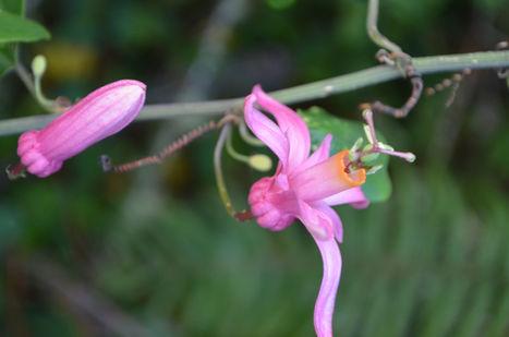 Plantes endemique Haiti/ massif de la selle