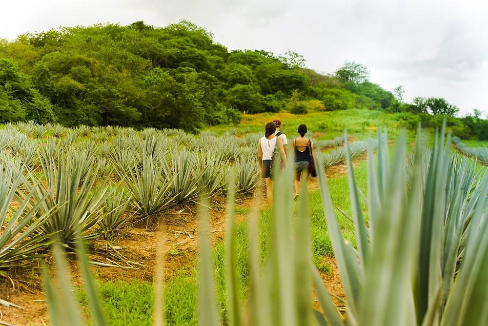 Campos de Agave Los Osuna