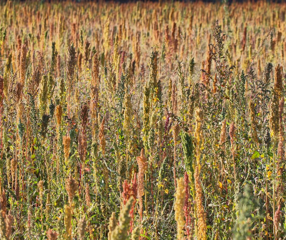 Plantación de Quinua
