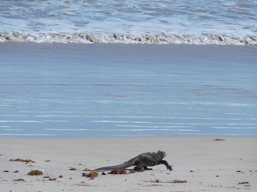 Una iguana marina decidida a meterse al mar
