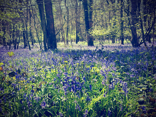 'Tis the time for Bluebells!