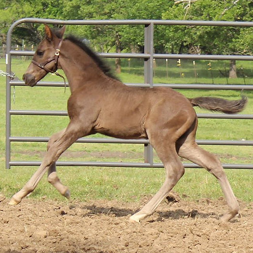 Inventor EAS - BLACK 2020 ANCCE PRE Andalusian Colt for Sale