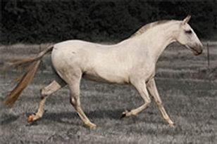 1996 - Bengala XIX Grey PRE Mare
