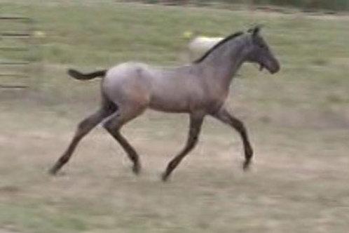 2012 - Atticus EAS Grey PRE Colt