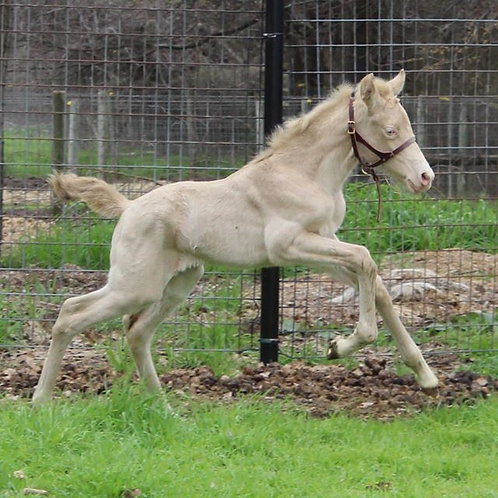 Iluminada EAS - 2020 Double Cream ANCCE PRE Andalusian Filly for Sale