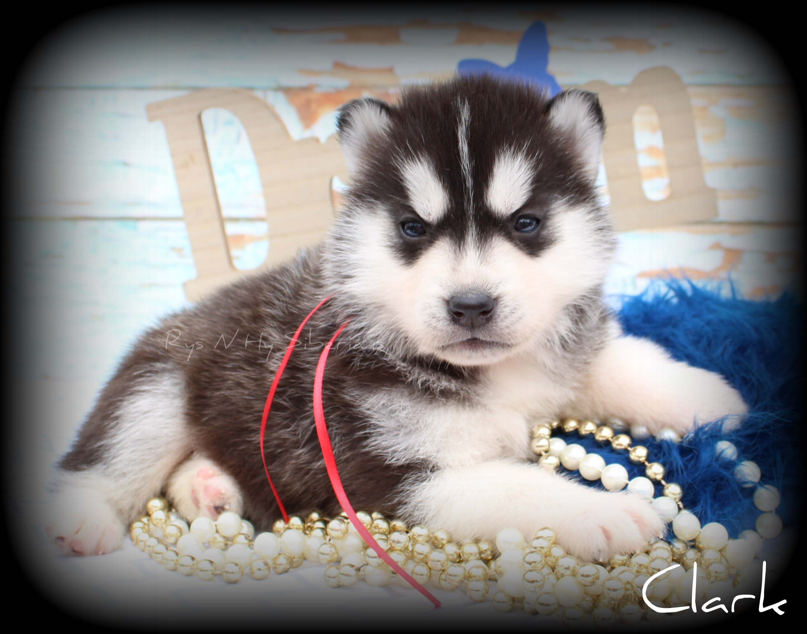 Past Puppies | sibes