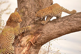 Kruger Leopards | Sentashya Safaris