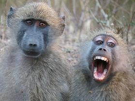 Baboons Kruger Park | Sentashya Safaris