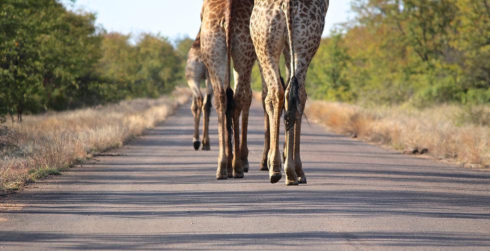 Giraffe in road   Kruger National Park