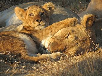 Kruger Park Lions | Sentashya Safaris