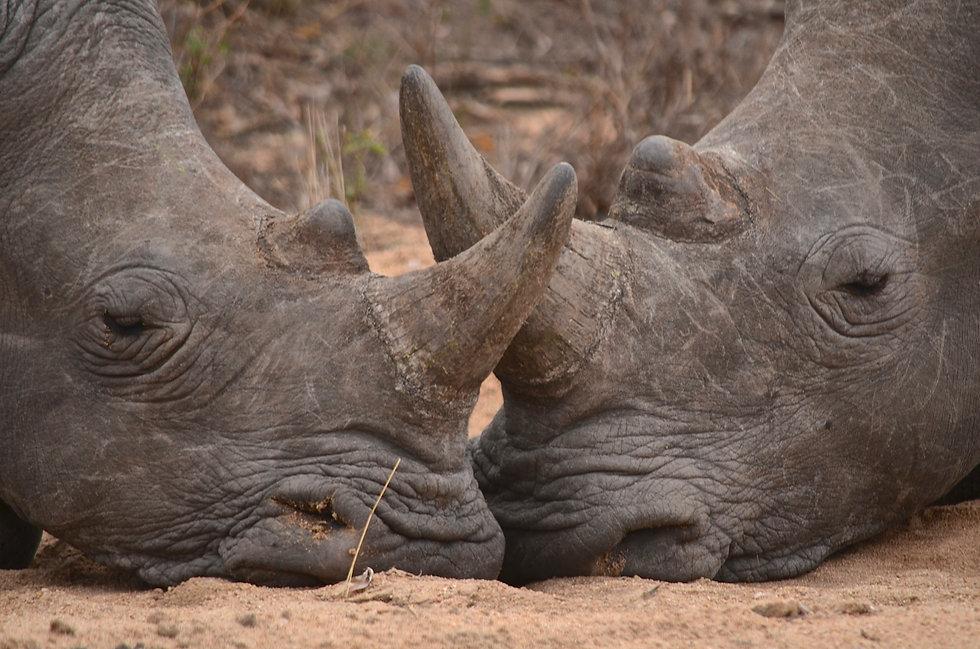 Rhino   Kruger National Park