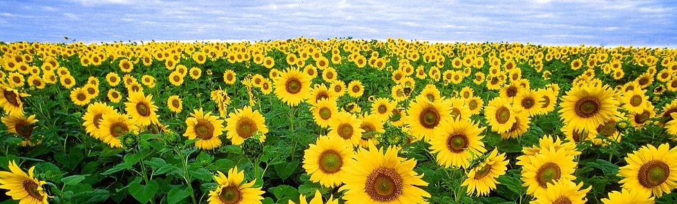 sunflower-11574_edited.jpg