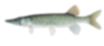 Chain pickerel AL.tif