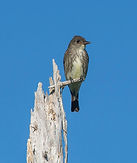 Eastern Wood Pewee, Ronnie D'Entremont.j