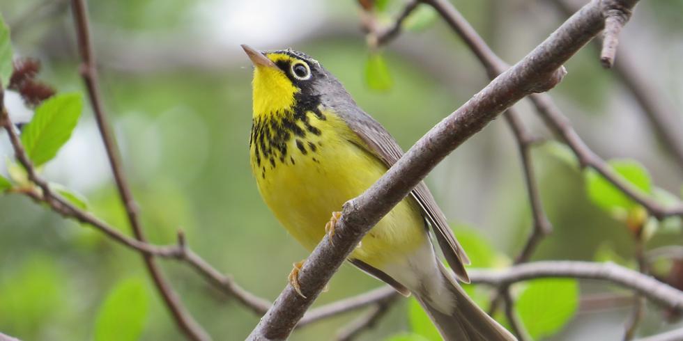 Volunteer training: Breeding bird monitoring in forested wetlands