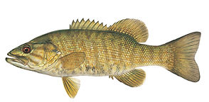 Smallmouth bass AL.jpg