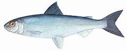 atlantic whitefish.jpg