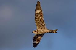 Common Nighthawk, Ronnie D'Entremont.jpg