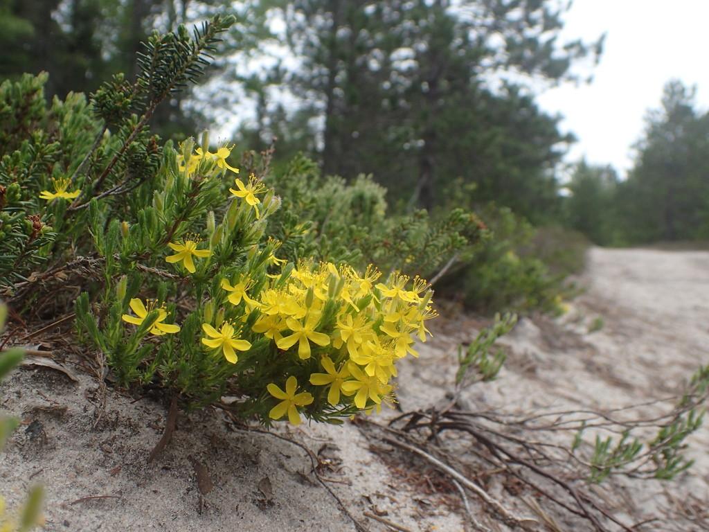 Pine Baren Goldenheather