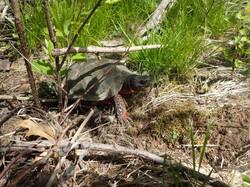 The Hulk, a male wood turtle