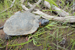 Ping, a male wood turtle