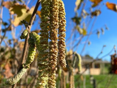 Hazelnuts are flowering