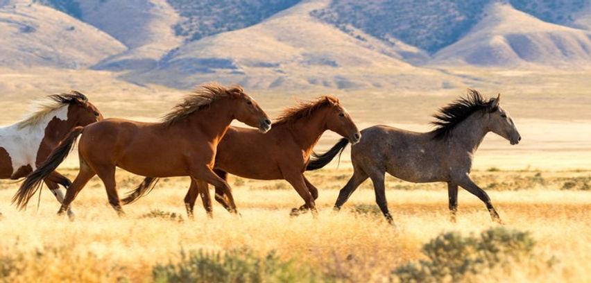 cavalngo_randonnee_equestre_usa_mustang_