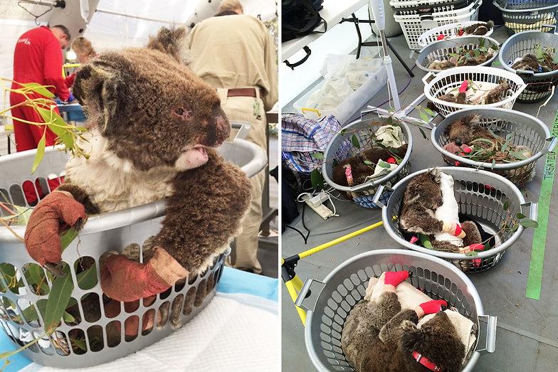 Australia-fires-–-Dozens-of-koalas-lie-i