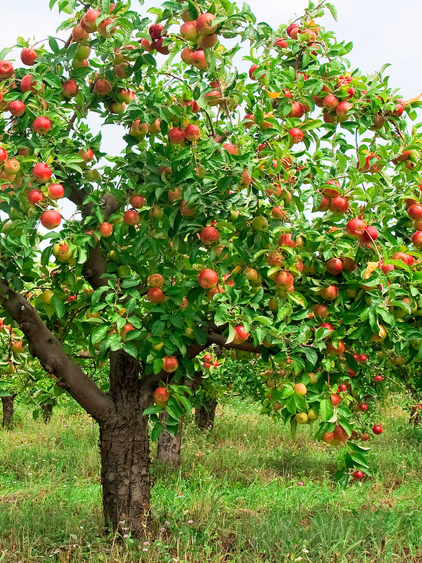 Gala Apple Tree