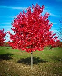Red Maple.jpg