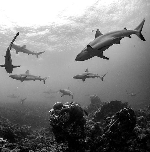 Sharks swimming underwater (black and white)