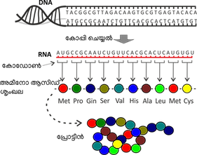 DNA_Transcription.png