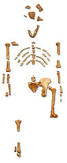 248px-Reconstruction_of_the_fossil_skele