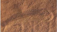 Spriggina_Fossil.png