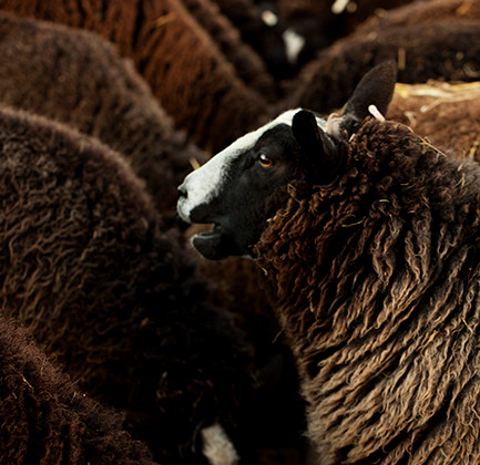 Fisherton_Farm_zwartbles_lambs_photographed_by_cotswold_and_oxfordshire_photographer_Andrew_Ogilvy_Photography_3.jpg